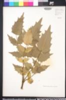 Berberis bealei image