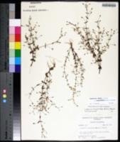 Lindernia dubia var. anagallidea image
