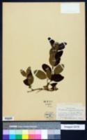 Image of Forsteronia corymbosa