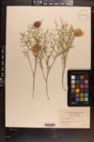 Astragalus aequalis image
