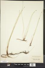 Eleocharis elliptica image