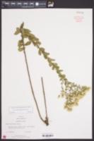Xylorhiza tortifolia var. tortifolia image