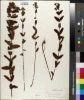 Hypericum punctatum image