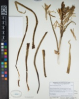 Hesperocallis undulata image