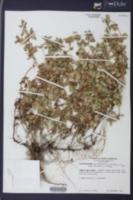 Acanthospermum australe image