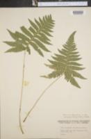 Image of Dryopteris phegopteris