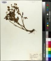 Image of Ranunculus japonicus