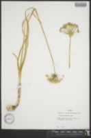 Image of Allium cuthbertii