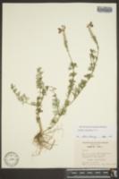 Glandularia pulchella image