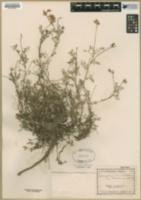 Astragalus humistratus var. tenerrimus image