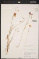 Clarkia lewisii image