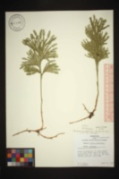Dendrolycopodium obscurum image