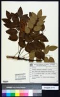 Acosmium subelegans image