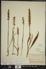 Spiranthes ochroleuca image