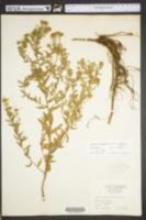 Symphyotrichum oblongifolium image