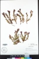 Epilobium obcordatum image