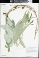 Eucalyptus globulus image