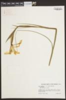Iris xiphioides image