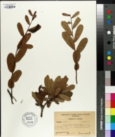 Image of Deeringothamnus rugelii