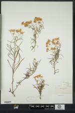 Chrysopsis falcata image