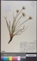 Nothocalais troximoides image