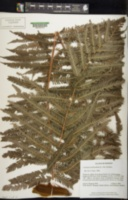Image of Cibotium arachnoideum