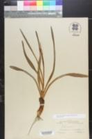 Image of Chrosperma muscitoxicum