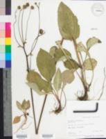 Image of Helianthus atrorubens