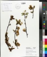 Image of Malus yunnanensis
