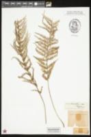 Image of Asplenium viviparum