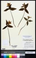 Trillium ozarkanum image