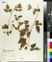 Cardiospermum pterocarpum image