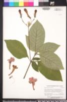 Ruellia elegans image