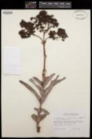 Image of Crassula perfoliata