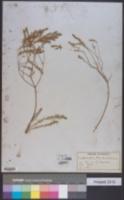 Euphorbia trichotoma image