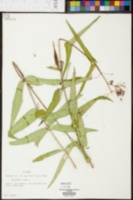 Asclepias rubra image