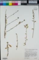 Image of Hybanthus mexicanus