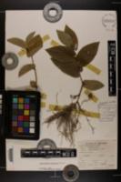 Image of Aristolochia reticulata
