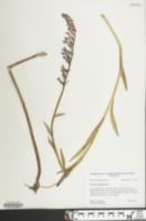 Image of Lobelia elongata