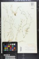 Image of Arenaria fontinalis