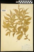 Image of Amorphophallus rivieri
