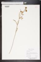 Asclepias pedicellata image