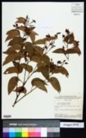 Image of Chamaecrista incurvata