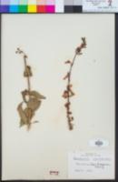 Penstemon clevelandii image