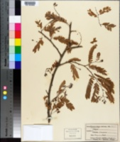 Tamarindus indica image
