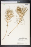 Image of Equisetum boreale
