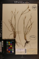 Image of Sisyrinchium rufipes
