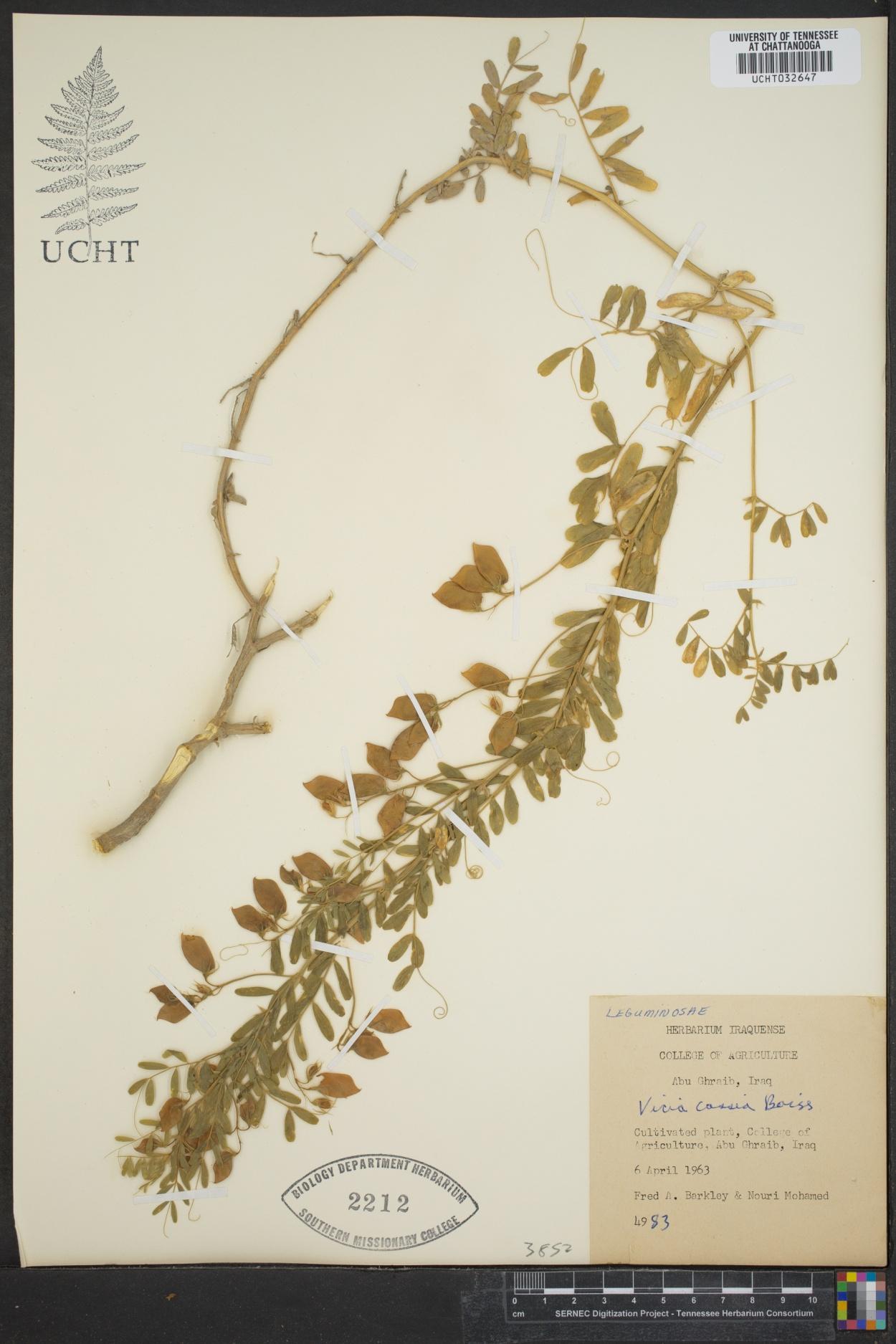 Vicia cassia image