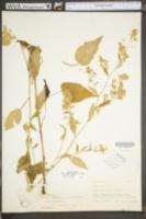 Symphyotrichum lowrieanum image