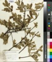 Image of Grewia flava